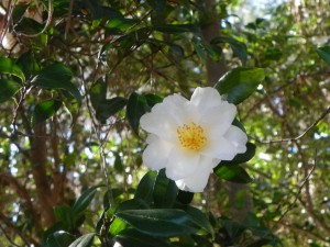 White Japanese Camellia Flower