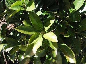 Japanese Tanbark Oak
