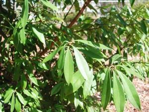 Lance-Leaf Anise Tree
