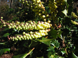 Flowers of Leatherleaf Mahonia