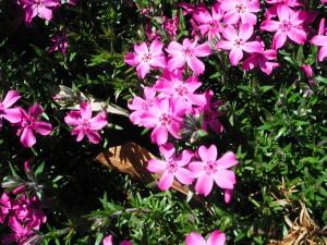 Phlox Subulata Emerald Pink