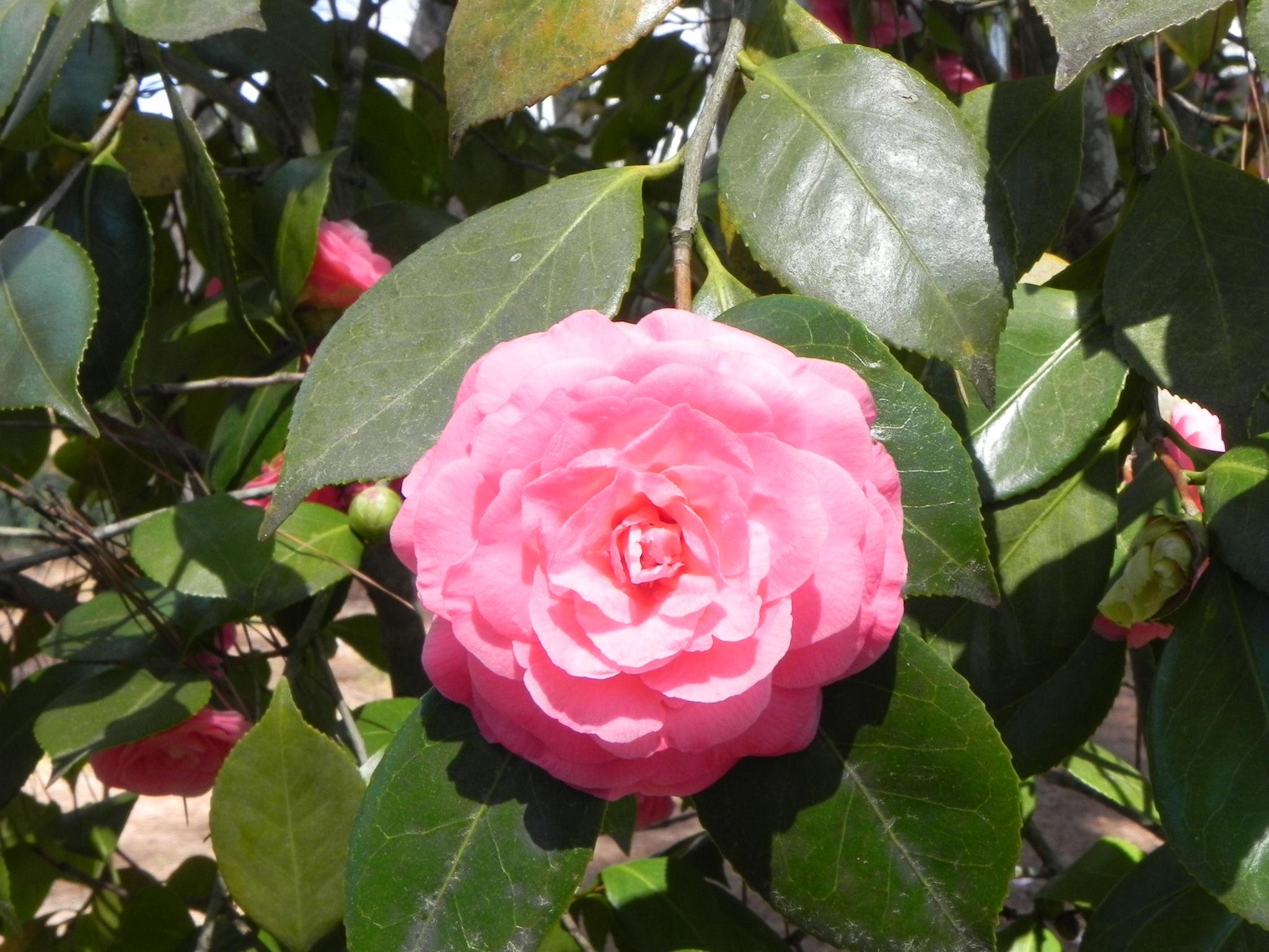 Pink Japanese Camellia Flower