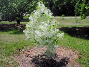 American Fringetree