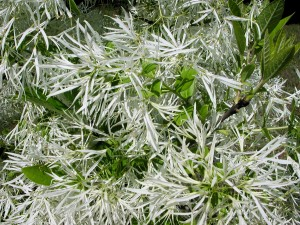 Flowers of American Fringetree