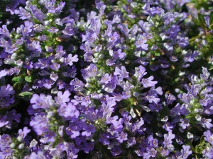 Purple Flowers of Bugleweed