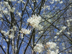 White Flowers of Downy Serviceberry