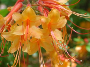 Flowers of Florida Azalea