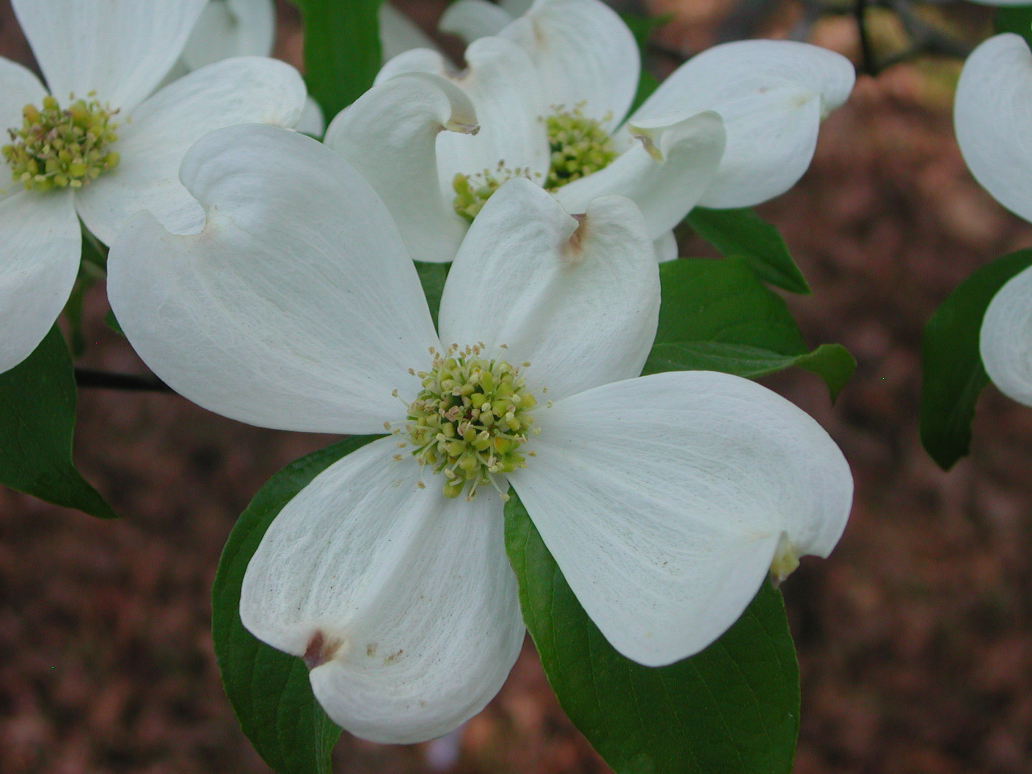 Flowers of Flowering Dogwood | Nature Photo Gallery