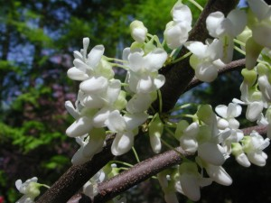 Flowers of White Redbud