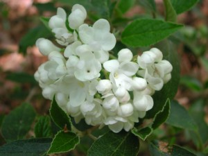 White Flowers of Service Viburnum