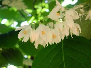 White Flowers of Fragrant Snowbell