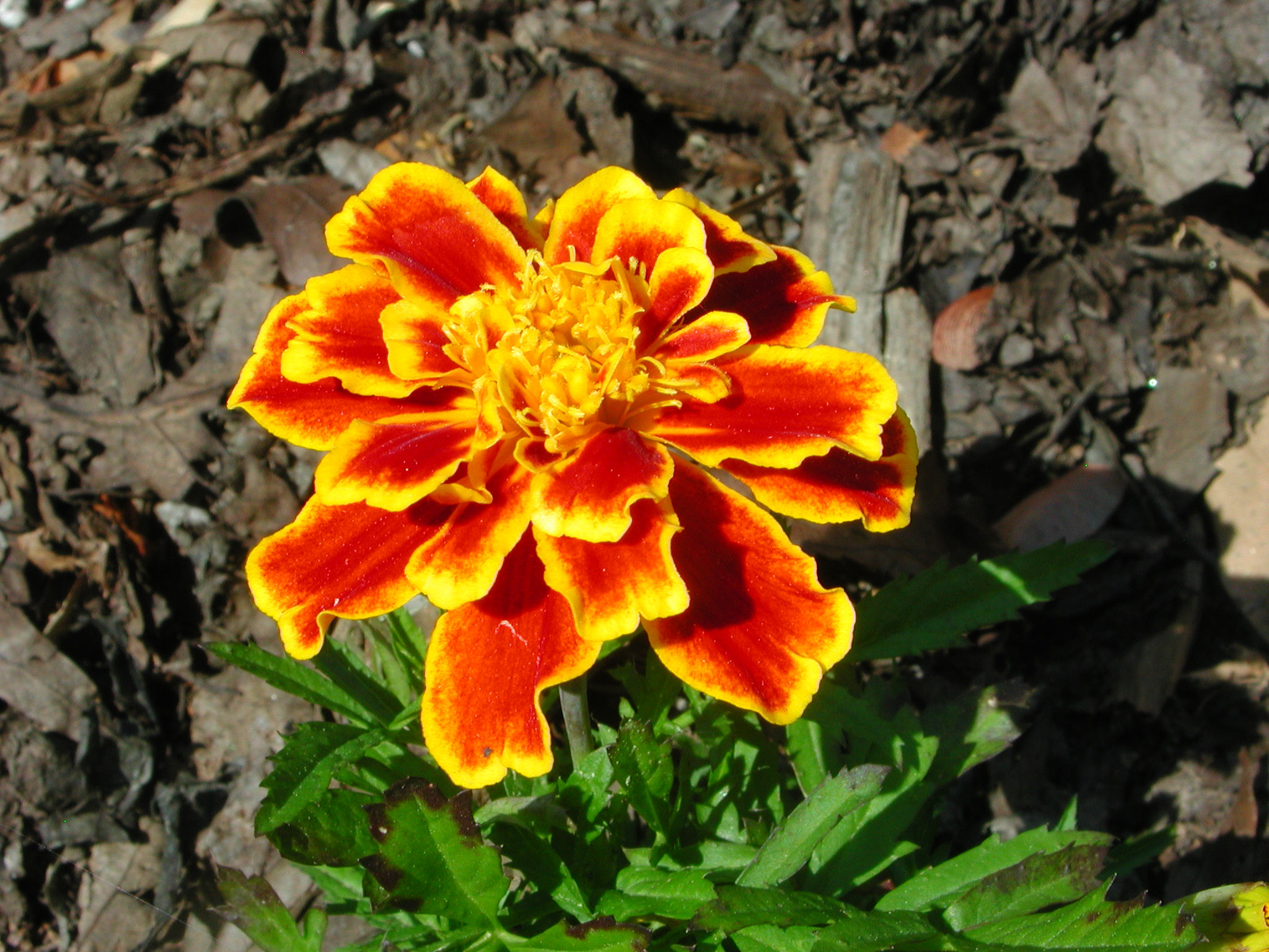 Flower of French Marigold