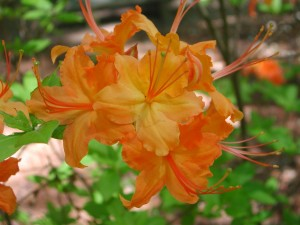 Flowers of Hybrid Azalea