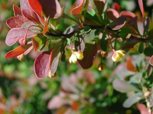 Flowers of Japanese Barberry