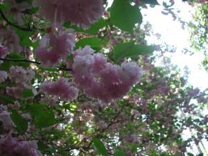Pink Yae-Zakura  -  Japanese Flowering Cherry