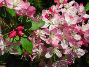 Flowers of Japanese Flowering Crabapple