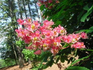 Flowers of Red Horsechestnut
