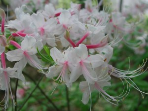 Light Pink Flowers of Rhododendron Nudiflorum