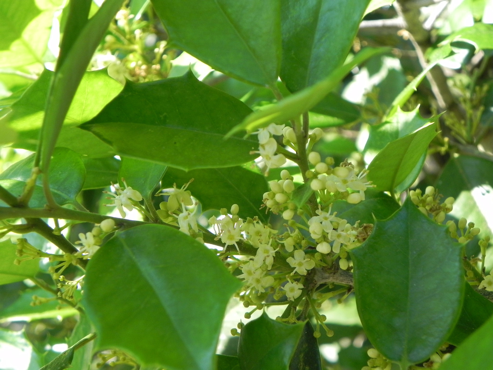 Flowers of American Holly