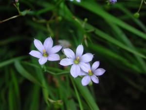Flowers of Blue Eyed Grass