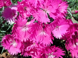 Dianthus - Fire Witch