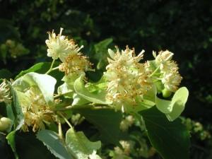 Flowers of European Linden