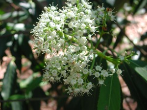Flowers of Henry's Viburnum