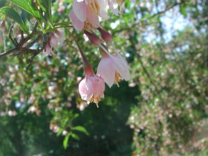 Flowers of Japanese Snowbell