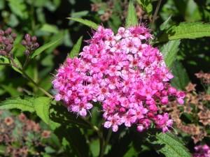 Flowers of Japanese Spirea - Dart's Red