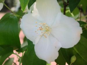 Flower of Mockorange