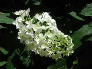 Flowers of Oakleaf Hydrangea