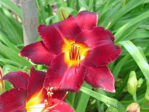 Flower of Daylily - Hemerocallis Flower