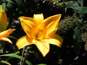 Chicago Sunrise Flower