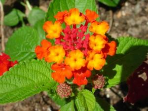 Flower of Lantana Camara