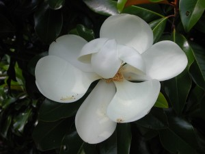 Flower of Southern Magnolia