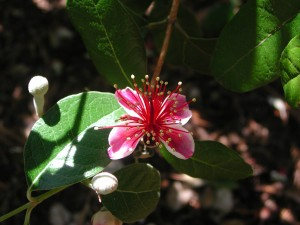 Flower of Pineapple Guava