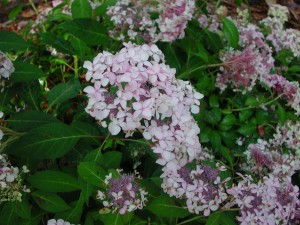 Flowers of Sawtooth Hydrangea