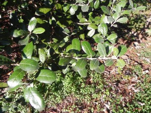 Cute Evergreen Leaves of Pineapple Guava