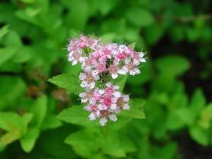 Bumald Spirea Flowers