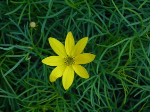 Yellow Flower of Thread Leaf Tickseed
