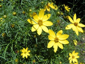 Flowers of Thread Leaf Tickseed - Coreopsis Verticillate