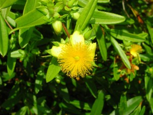 Flower of Shrubby St. Johnswort