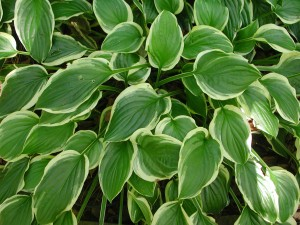 Leaves of Hosta - So Sweet