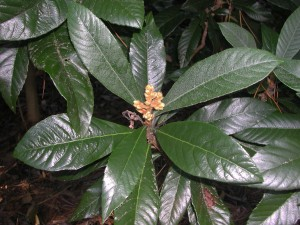 Leaves of Loquat