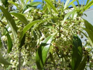 Flowers of American Wild Olive