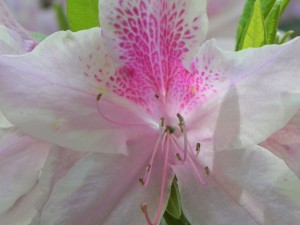 Flowers of Azalea