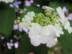 Flowers of Sargent Viburnum