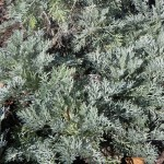 Foliage of Artemisia