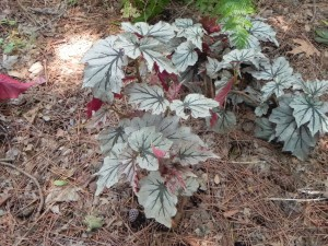 Foliage of Begonia Looking Glass