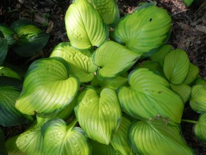 "Hosta ""Stained Glass"""